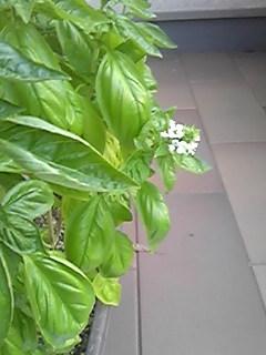 バジル開花