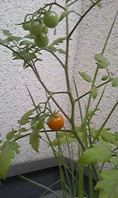トマトが色付いた